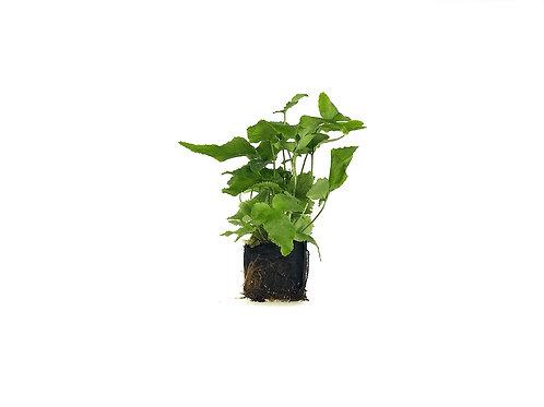 Dwarf-Fortuni Holly