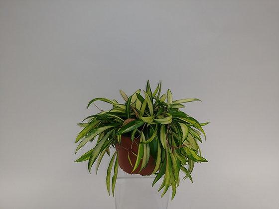 Wayetii variegated