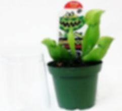 3 Pitcher Plant wholesale.jpg