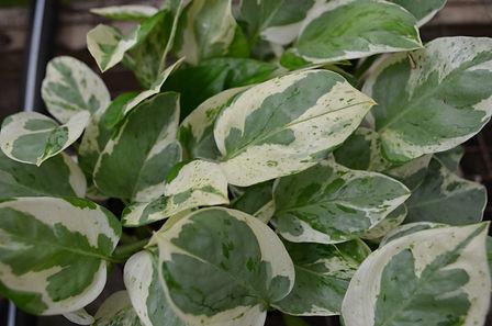 Foliage Plant in a Wholesale Nursery