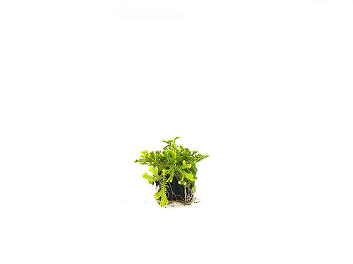 Golden Moss