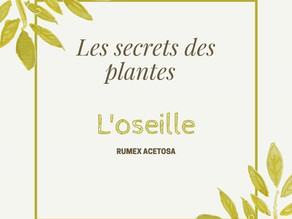 Secret de plante : l'oseille