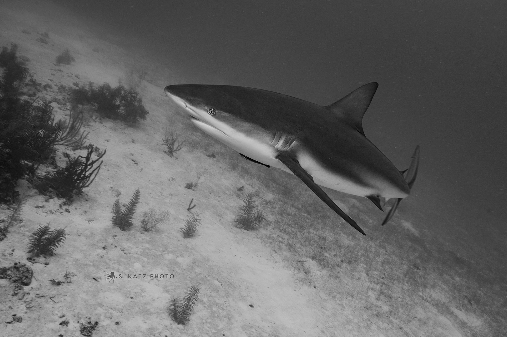 Gray reef shark 1.jpg