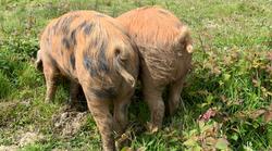 pig_bottom