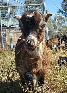 A cute elf eared buck