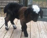 Australian Pygmy Goats Australian Miniature Goats