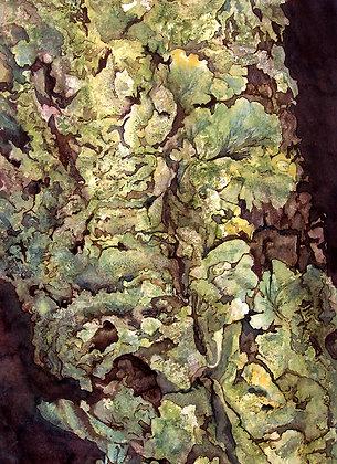 Cracked Sheild Lichen
