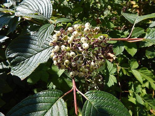 Red Osier Dogwood (Live Stake)