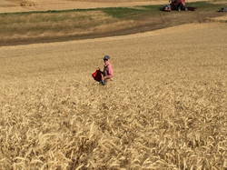 Mary Stewart checking grain to harvest