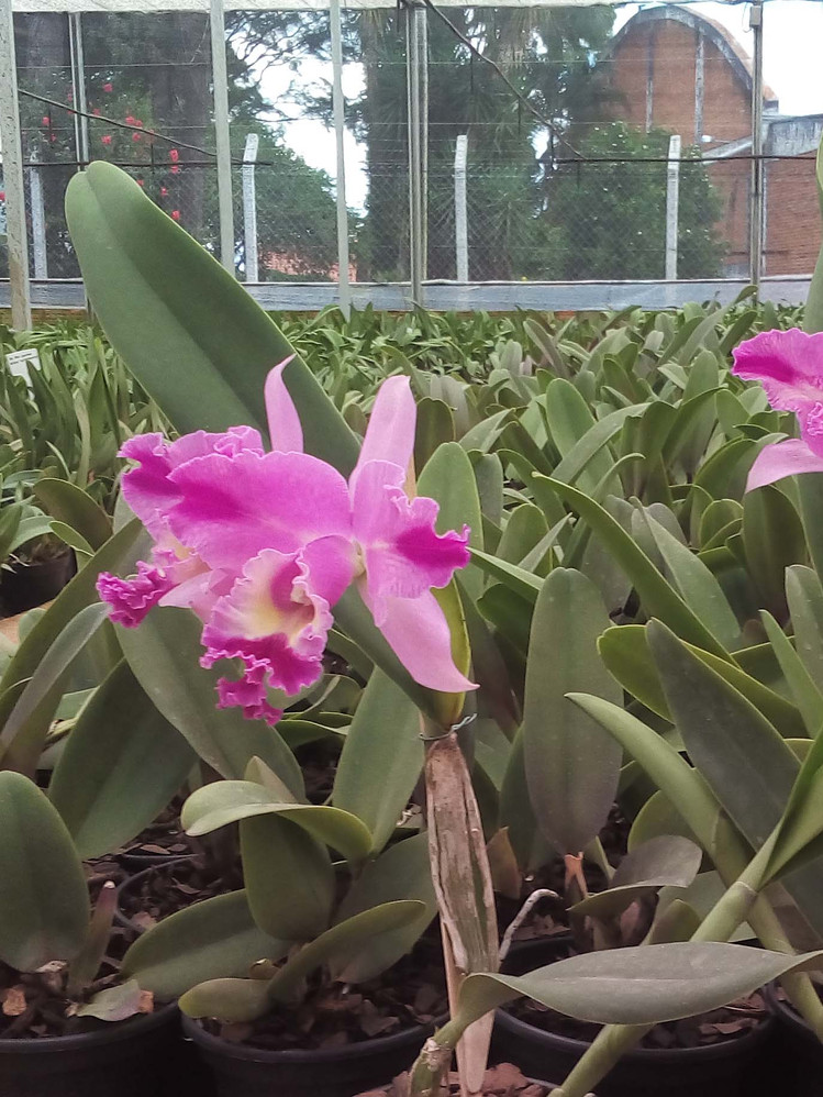 Orquídea Cattleya pt 14