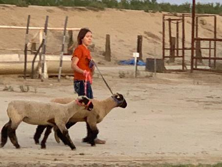 Wasco FFA Livestock show teams gear up for Kern County Fair