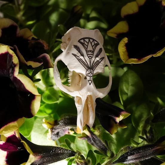 Marsh Dweller Muskrat Skull