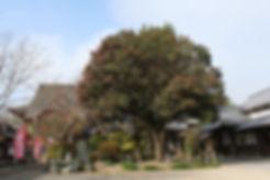 石垣山観音寺のハルサザンカ
