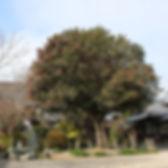 石垣山観音寺にあるサザンカの木