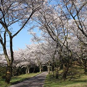 桜の名所、平原古墳公園