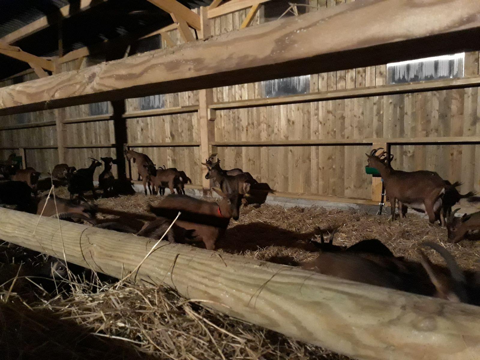 Arrivée des chèvres dans le bâtiment