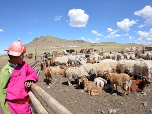 フェルトを生み出す羊たち