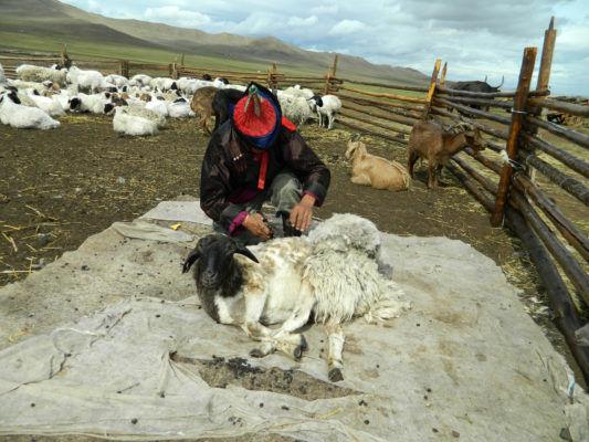 羊毛をハサミで丁寧に刈りとります。