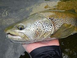 moniteur guide pêche en Savoie truite fario des riveres savoyard prise à la mouche