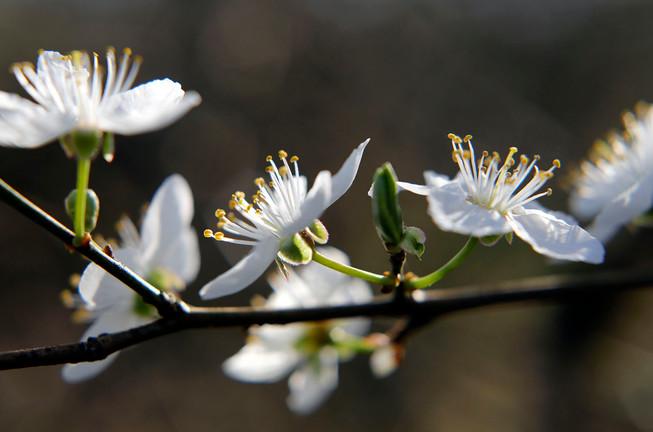 Blüte der Pflaume