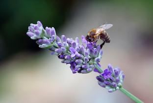 Biene an Lavendel