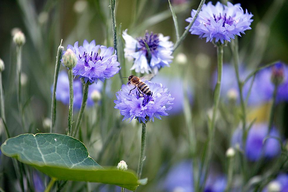 Biene mit Kornblume