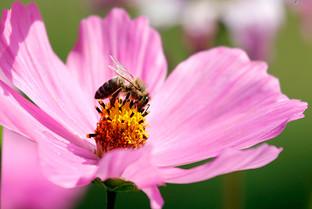 Biene auf Cosmea Blüte