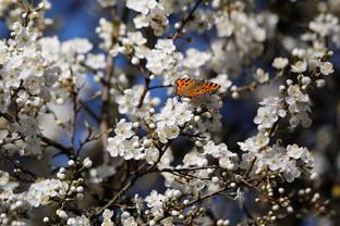 Schmetterling im Frühling