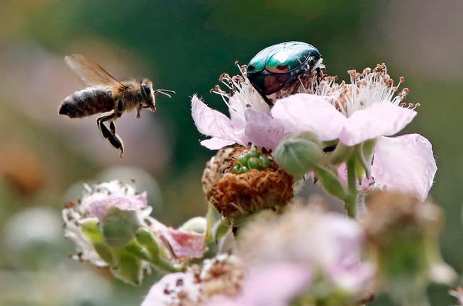 Biene und Rosenkäfer