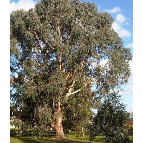 Eucalyptus _l'eau florale