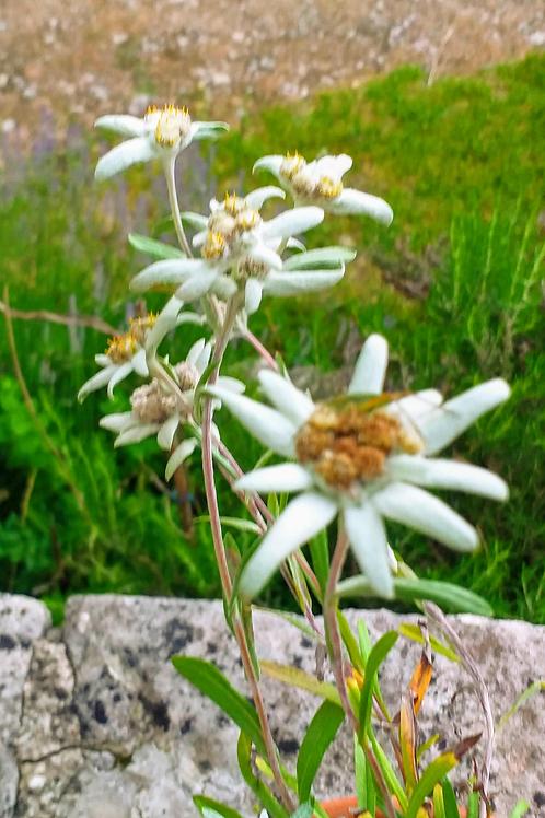 L'Edelweiss_ eau florale