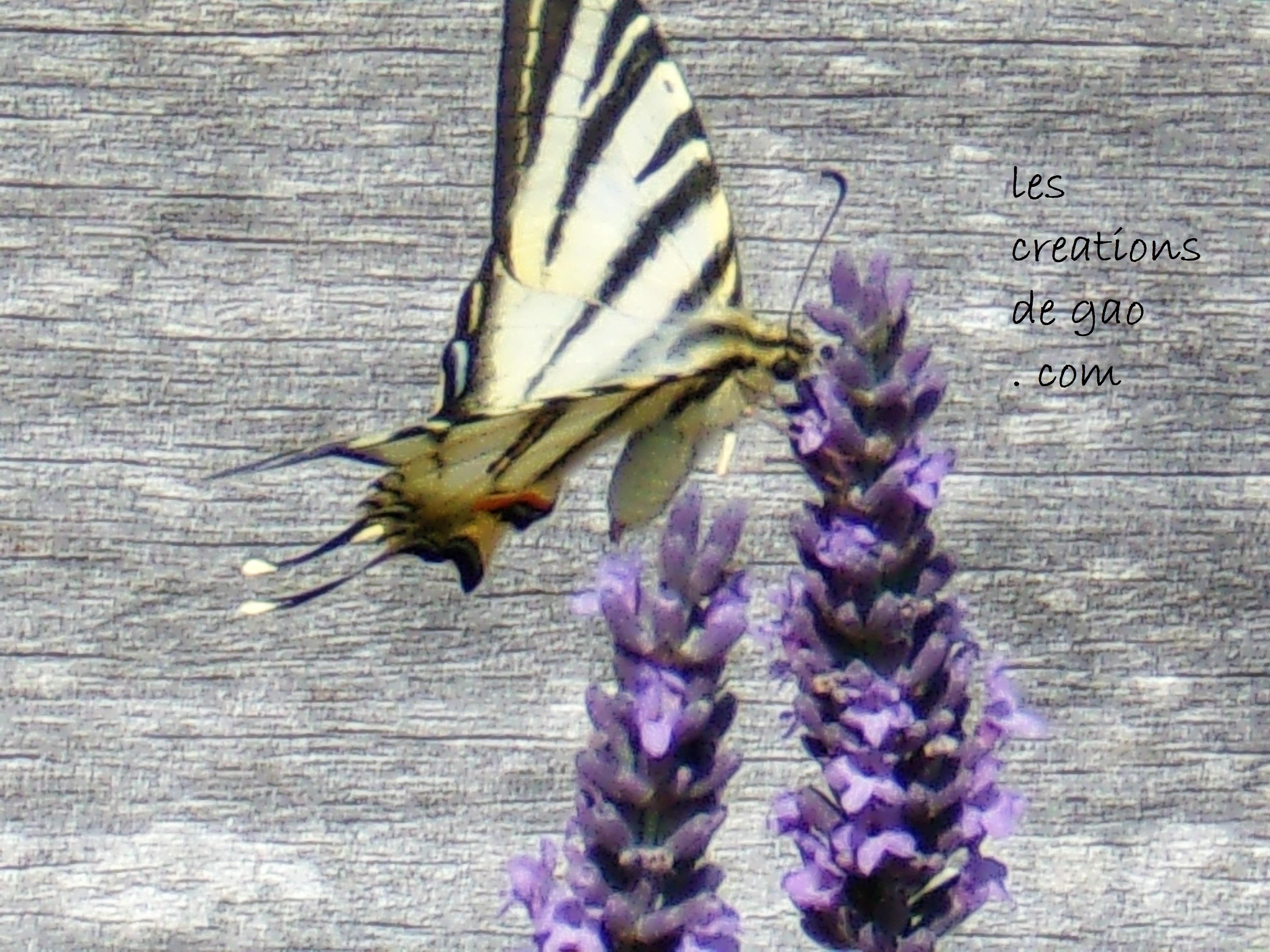 papillon1