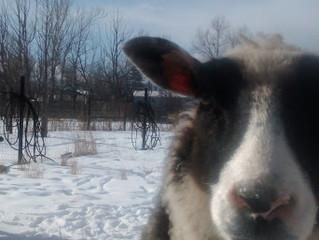 Winterizing at Woolly Goat