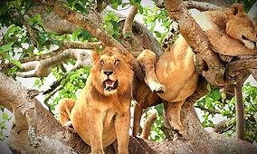 Tree-Climbing-Lions-750x450_edited.jpg