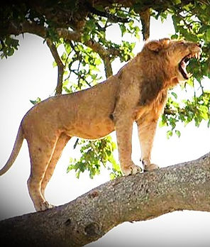 climbing-lions-at-qenp-1_edited_edited.j