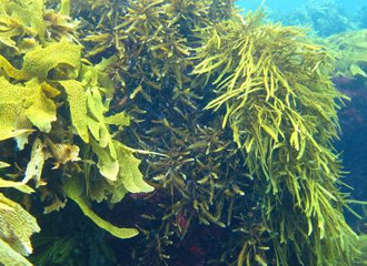 The Energy of Tomorrow May Not Be Solar, but Seaweed