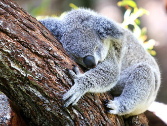 Australia: save the koalas' forest!