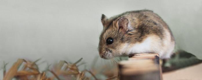 Fuzzy Hamster