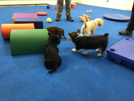 NEW OFFERING - Puppy Play and Train Socialization Class
