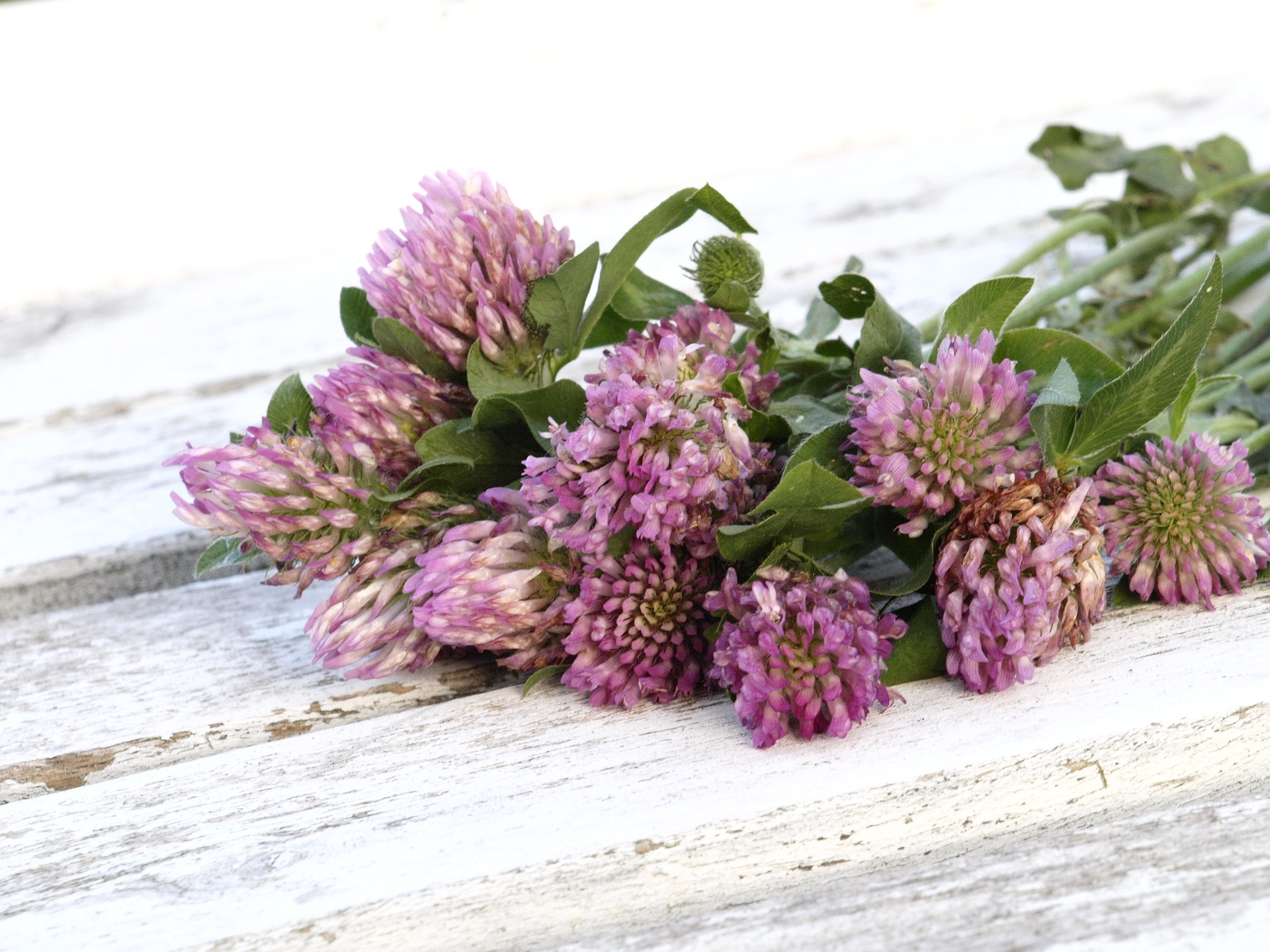 red-clover-1589711_1920