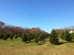 Christmas Tree Farm in Greenville SC