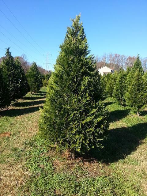Freshly trimmed Leyland Cypress