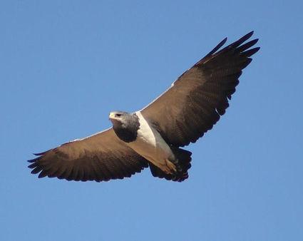 Chilean Blue Eagle.jpg