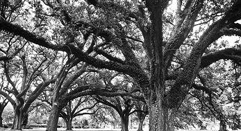 Louisiana Trees.jpg