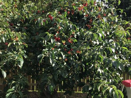 The Crab Apple Tree Lesson