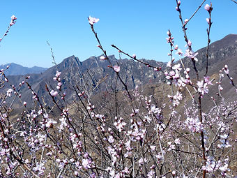 Blossom and mountains, Great Wall of China