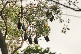 Flying foxes, or fruit bats, help our rainforests
