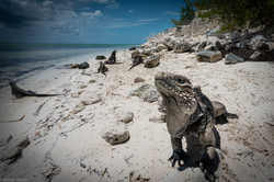 Isola delle Iguane