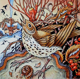 Song Thrush, Winter,