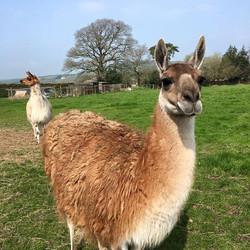 Llama trecking